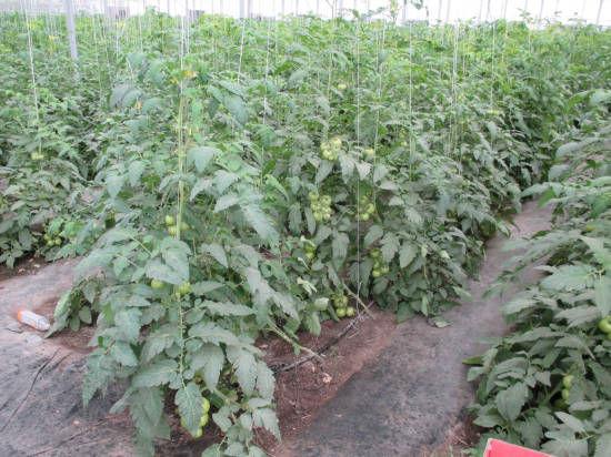安徽亳州年丰蔬菜种植园